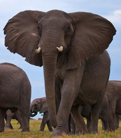 elephant400