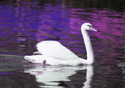 swan-400